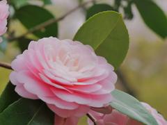 神峯山寺2021春「可憐な乙女」
