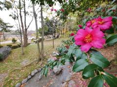公園の山茶花