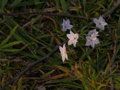 夕日に咲く足元の花