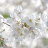 玉川の里2021「♥️桜」
