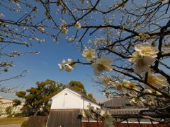 快晴の空と梅の花