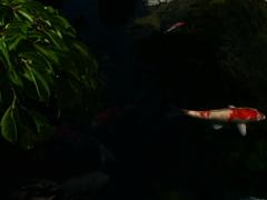 鯉のいる風景