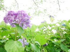 透き通る紫陽花(赤)