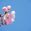 春の始め2021「河津桜1」