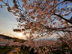 日が昇る~一日の始まり 桜~