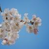 春を探して2021「青空と桜」
