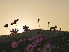 落ちていく陽と秋桜