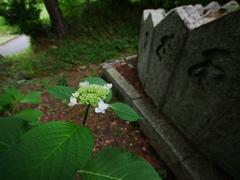 紫陽花と梵字