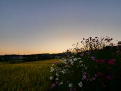 夕焼けに輝く稲とコスモス