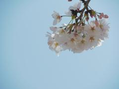 桜映える空