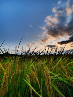 朝の光と稲