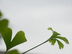 梅雨空に伸びる銀杏の葉
