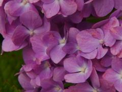 紫陽花の花びら(赤)