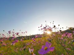 夕日を浴びる秋桜