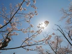 青空とキラリと桜
