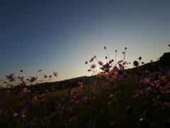 秋桜の夕景