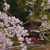 桜と三宝塔2