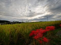 空と稲と彼岸花
