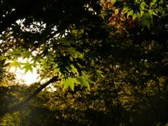 朝日の中の紅葉