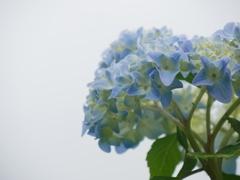 透き通る紫陽花(青)