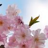 すっきり爽快な桜