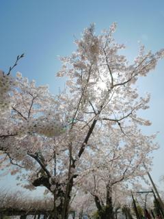 青空に輝く桜