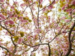 花いっぱいの八重桜