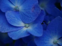 紫陽花(青) 花びら