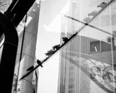逞しい都会の鳩
