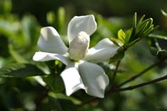 庭のクチナシの花