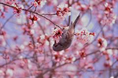 桜の蜜を吸いに来たヒヨドリ