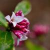 庭の沈丁花