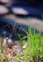 草の芽生え