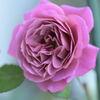 和薔薇 あおい