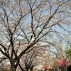 八王子陵南公園の桜