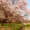 八王子滝山城址公園の桜