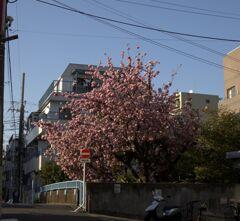 桜の全景・なんだかんだ撮りに行き~の