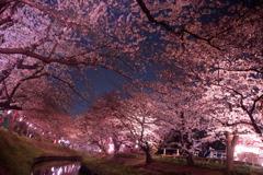 桜を仰いで