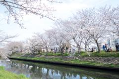 海老川の春