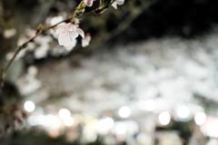 夜桜きらめいて