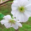 DSC_700810月桜