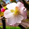 DSC_7436寒桜