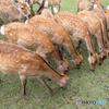 鹿寄せでどんぐりを食べる鹿