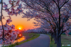 夕暮れの桜並木