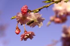 桜とハナアブ