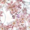 蓮照寺枝垂れ桜3