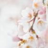 蓮照寺 枝垂桜