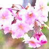 ヒバゴンの里西城も桜色2