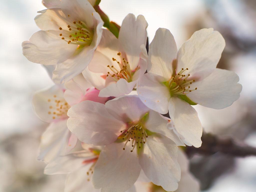 ヒバゴンの里西城も桜色1