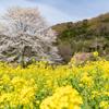 淡墨桜と菜の花